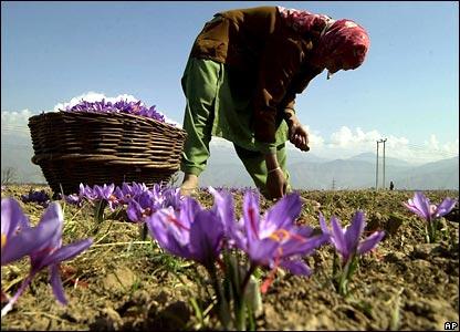 Шафран - одна из самых дорогих специй в мире - 20061020141914951_1