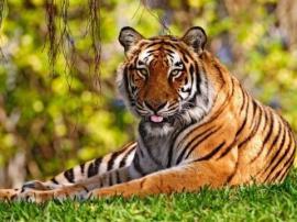 В Николаеве тигрица отгрызла ухо пьяному - 20061218195050411_1