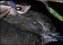 Мадагаскарская моль пьет слезы спящих птиц - 20061221165753184_1