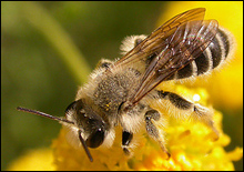 Найдена пчела возрастом 100 млн лет - 20070115193508620_1