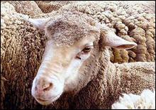 Ученые вырастили очеловеченную овцу - 20070328115248122_1