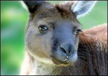Выстрел в голову спасет кенгуру от голодной смерти - 20070514220635909_1
