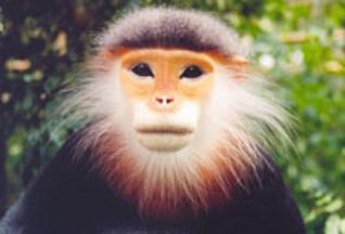 Во Вьетнаме обнаружена крупнейшая популяция исчезающих обезьян - 20070705104013510_1