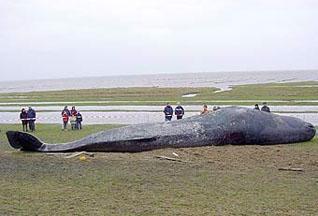 Мертвый кашалот был обнаружен в гавани Гамбурга - 20070705235337359_1