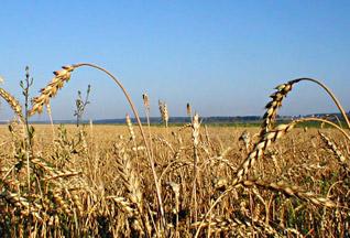 Британские эксперты: Украина спасет мир от голода - 20070830161644747_1