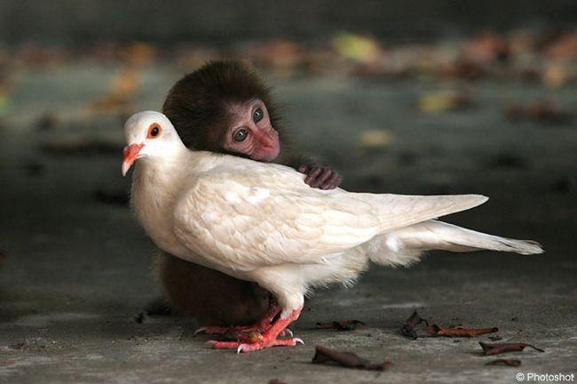 Брошенная обезьянка привязалась к голубю - 20070920144621995_1