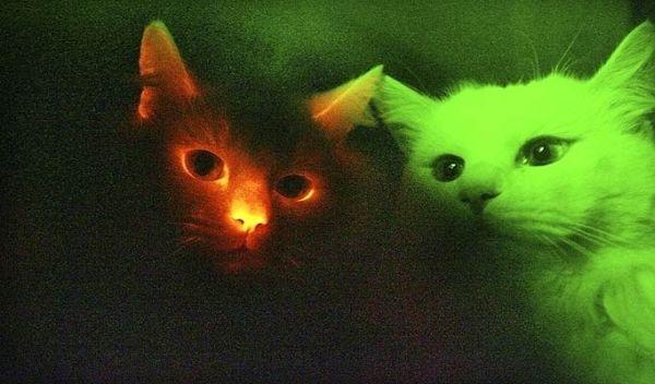 Южнокорейские ученые клонировали светящихся кошек  - 20071215163226236_1
