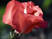 В Саудовской Аравии запретили розы в День св. Валентина - 2008021213060662_1