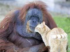 Из зоопарка Лос-Анджелеса сбежал орангутанг - 20080520143603505_1