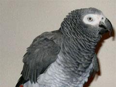 Попугай вернулся домой, рассказав свое имя и адресс - 20080522123203116_1