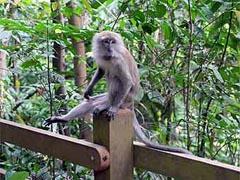 В Индонезии обнаружили макак-рыбаков - 20080611094037154_1