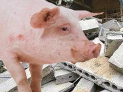 Свинья выжила после месяца под завалами - 2008062409173552_1
